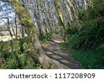 Small photo of Red alder, Fern Canyon Loop Trail, Prairie Creek Redwoods State Park, California, USA