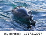 dolphin appears to chuckle at... | Shutterstock . vector #1117212017
