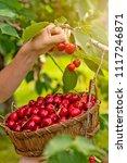 Tasty Cherries In A Wooden...
