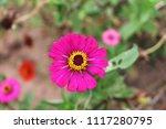 pink zinnia flower blooming in... | Shutterstock . vector #1117280795