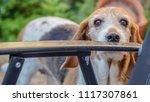 beagle dog in garden looking... | Shutterstock . vector #1117307861