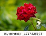 Stock photo a large lush red rose in the garden on a background of nature 1117325975