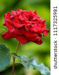 Stock photo one red rose flower with drops of dew on a summer day in the village garden 1117325981