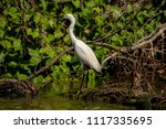 white heron egret  ardea alba ... | Shutterstock . vector #1117335695