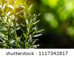 fresh rosemary herb grow... | Shutterstock . vector #1117342817