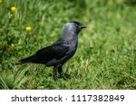 the western jackdaw  also known ... | Shutterstock . vector #1117382849