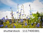 chicory flowers background | Shutterstock . vector #1117400381