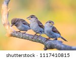 small birds sit in a row ... | Shutterstock . vector #1117410815