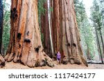 sequoias forest in summer season | Shutterstock . vector #1117424177