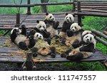 Giant Panda Bears Gather For...