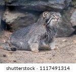 Pallas's Cat  Otocolobus Manul...