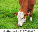 view of a brown and white cow... | Shutterstock . vector #1117542677