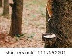 Milky Latex Fluid In Wooden...