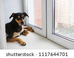 Small photo of Inbred dog sits and looks out the window. The concept of protecting homeless animals.