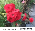 Small photo of Crown of thorns or Christ Thorn flower - Euphorbia milli - red color on green leaf. Crown of Thorns flower. Red flower with thorns. Euphorbia Milia Desmoul.