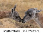 mother and baby guanaco kissing | Shutterstock . vector #1117935971