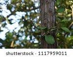 leaves of hoya kerrii craib or... | Shutterstock . vector #1117959011