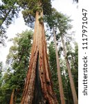 mariposa grove of giant... | Shutterstock . vector #1117971047