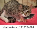 striped cat wearing a funnel... | Shutterstock . vector #1117974584