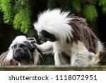 cotton top tamarin  saguinus...   Shutterstock . vector #1118072951