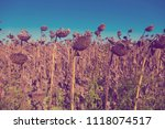 Ripened Sunflowers Ready For...