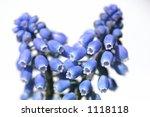 blue grape hyacinth | Shutterstock . vector #1118118