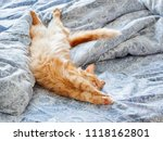 Stock photo cute ginger cat lying in bed fluffy pet stretching cozy home background morning bedtime 1118162801