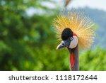 National Bird Of Uganda In The...