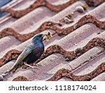 starling with food for young... | Shutterstock . vector #1118174024