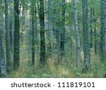 Tree Trunks In Dense Forest