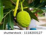 close up of breadfruit. | Shutterstock . vector #1118203127