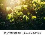 soy field at sunset   Shutterstock . vector #1118252489