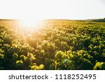 soy field at sunset   Shutterstock . vector #1118252495
