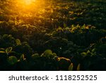 soy field at sunset   Shutterstock . vector #1118252525