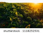 soy field at sunset   Shutterstock . vector #1118252531