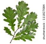 Oak Tree Green Leaves  Isolate...