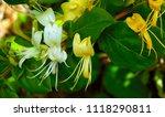Wild Honeysuckle Blossom