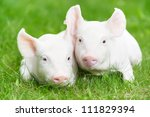 Two Young Piglet On Green Gras...