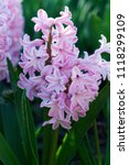 Pink Hyacinth In The Garden...