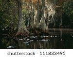 bald cypress trees in swamp | Shutterstock . vector #111833495