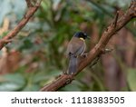 this small songbird  indigenous ... | Shutterstock . vector #1118383505