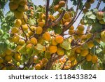 apricot tree in patagonia. | Shutterstock . vector #1118433824