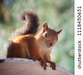 Squirrel On A Wooden Platform...