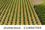 young trees cherry garden.... | Shutterstock . vector #1118467454