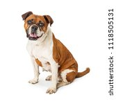 medium size mixed bully breed... | Shutterstock . vector #1118505131