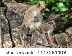 mating of monkeys in thailand. | Shutterstock . vector #1118581109