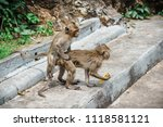 mating of monkeys in thailand. | Shutterstock . vector #1118581121