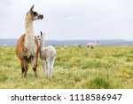a baby llama with it's mother... | Shutterstock . vector #1118586947