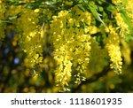 Yellow Wisteria Bloom