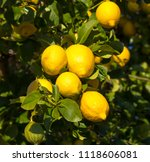bright yellow eureka lemons... | Shutterstock . vector #1118606081